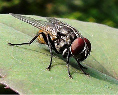 Common_house_fly.